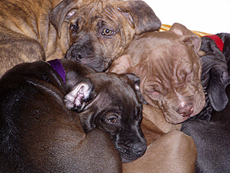 American pit bull terrier, American gamedog, pit bull, pitbull, pittbull, dog fighting, BSL, Boldog Kennel, Bandog Dread, Boldog Dirk, schutzhund, french ring, dogsport, Olympia, washington, Diane Jessup, pit bull treadmill, pit bull jenni, pit bull springpole, pit bull feeding, pit bull conditioning, pit bull training, dog, pit bull puppy, Sorrells, boldog grim, Boldog General Burkhalter