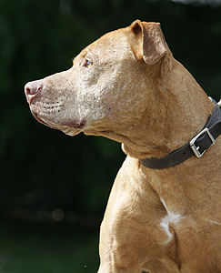American pit bull terrier, American gamedog, pit bull, pitbull, pittbull, dog fighting, BSL, Boldog Kennel, Bandog Dread, Boldog Dirk, schutzhund, french ring, dogsport, Olympia, washington, Diane Jessup, pit bull treadmill, pit bull jenni, pit bull springpole, pit bull feeding, pit bull conditioning, pit bull training, dog, pit bull puppy, Sarona, Boldog Butcher's Dog
