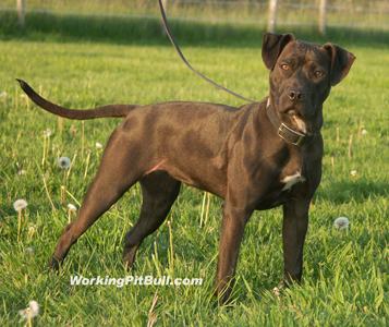 American pit bull terrier, American gamedog, pit bull, pitbull, pittbull, dog fighting, BSL, Boldog Kennel, Bandog Dread, Boldog Dirk, schutzhund, french ring, dogsport, Olympia, washington, Diane Jessup, pit bull treadmill, pit bull jenni, pit bull springpole, pit bull feeding, pit bull conditioning, pit bull training, dog, pit bull puppy, Sorrells, boldog grim, boldog FreakShow
