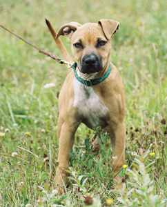 American pit bull terrier, American gamedog, pit bull, pitbull, pittbull, dog fighting, BSL, Boldog Kennel, Bandog Dread, Boldog Dirk, schutzhund, french ring, dogsport, Olympia, washington, Diane Jessup, pit bull treadmill, pit bull jenni, pit bull springpole, pit bull feeding, pit bull conditioning, pit bull training, dog, pit bull puppy, Sorrells, Boldog Dirk
