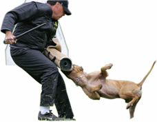 American pit bull terrier, American gamedog, pit bull, pitbull, pittbull, dog fighting, BSL, Boldog Kennel, Bandog Dread, Boldog Dirk, schutzhund, french ring, dogsport, Olympia, washington, Diane Jessup, pit bull treadmill, pit bull jenni, pit bull springpole, pit bull feeding, pit bull conditioning, pit bull training, dog, pit bull puppy, Sorrells,