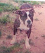 American pit bull terrier, American pit bull, pit bull terrier, pit bull, pitbull, pittbull, pitt bull, gamebred, American gamedog, game pit bull, K9, detection dogs, police dog, police dogs, detection dog, bomb dog, narcotics detection dog, explosives detection dog, Boldog Kennel, Diane Jessup, BSL, dog training, schutzhund, French ring sport, tracking, tracking dog, agility dog, weight pull, weight pulling pit bull, dog crate, pit bull books, pit bull book, dog training, dog fighting, Washington State Patrol, breed specific legislation, dog agility, gamedogs, game dogs, American gamedog, dog fighting, treadmills, jenni, catmill, springpole, weight pulling, dog aggression, sorrells, boldog dirk