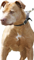 American pit bull terrier, American gamedog, pit bull, pitbull, pittbull, dog fighting, BSL, Boldog Kennel, Bandog Dread, Boldog Dirk, schutzhund, french ring, dogsport, Olympia, washington, Diane Jessup, pit bull treadmill, pit bull jenni, pit bull springpole, pit bull feeding, pit bull conditioning, pit bull training, dog, pit bull puppy, Sorrells, Seattle, kennel, cat mill, catmill, flying jenni, flying jenny