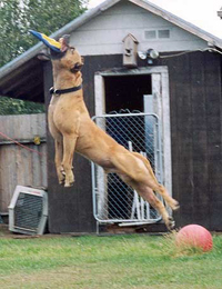 American pit bull terrier, American pit bull, pit bull terrier, pit bull, pitbull, pittbull, pitt bull, gamebred, American gamedog, game pit bull, K9, detection dogs, police dog, police dogs, detection dog, bomb dog, narcotics detection dog, explosives detection dog, Boldog Kennel, Diane Jessup, BSL, dog training, schutzhund, French ring sport, tracking, tracking dog, agility dog, weight pull, weight pulling pit bull, dog crate, pit bull books, pit bull book, dog training, dog fighting, Washington State Patrol, breed specific legislation, dog agility, gamedogs, game dogs, American gamedog, dog fighting, treadmills, jenni, catmill, springpole, weight pulling, dog aggression,