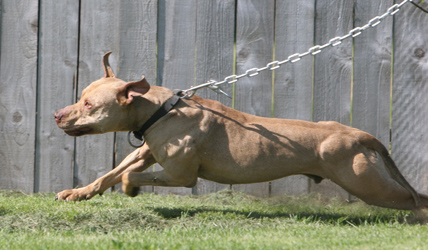 pit bull fighting and protection Guard dog breeds for security | protection dogs  as well as tracking and confirmation a close resemblance to the american pit bull terrier, they am staff is more.