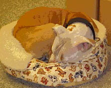 pit bull, american pit bull terrier, pitbull, pittbull, sleeping pit bull, boldog kennel, pit bull care, crating