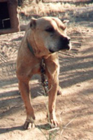 Official Pit Bull Site of Diane Jessup